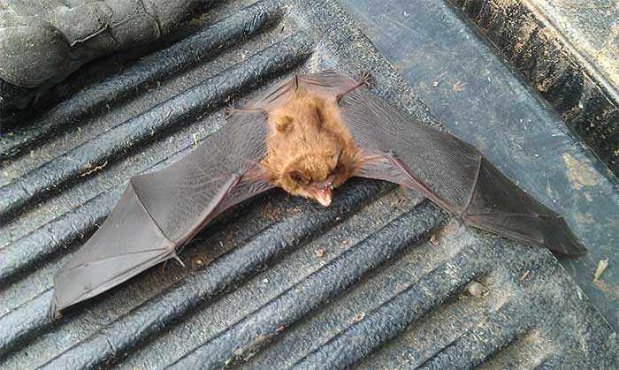 A Reliable Bat Removal Removal Expert is Crucial For the Security of Your Property | Pro Wildlife Removal