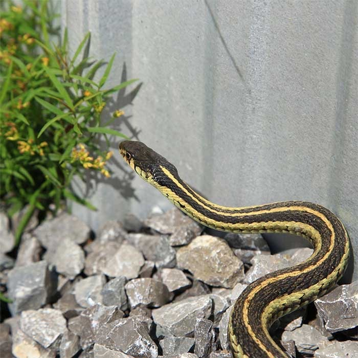 Always Call Our Snake Removal Experts in Tampa Florida For Any Emergency | Pro Wildlife Removal