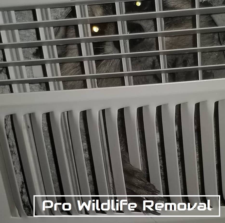 Are you a Tampa homeowner? Look out for property damage caused by raccoons | Pro Wildlife Removal