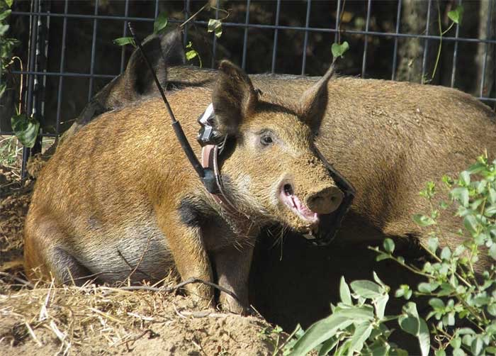 Call the Tampa hog removal and trapping experts | Pro Wildlife Removal