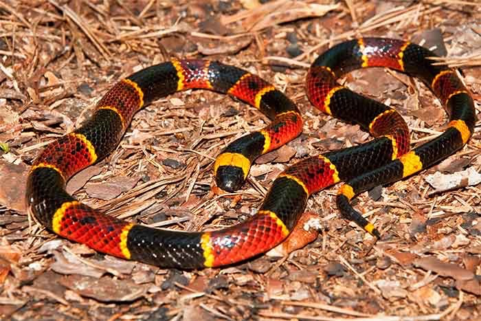 Coral Snake | Pro Wildlife Removal