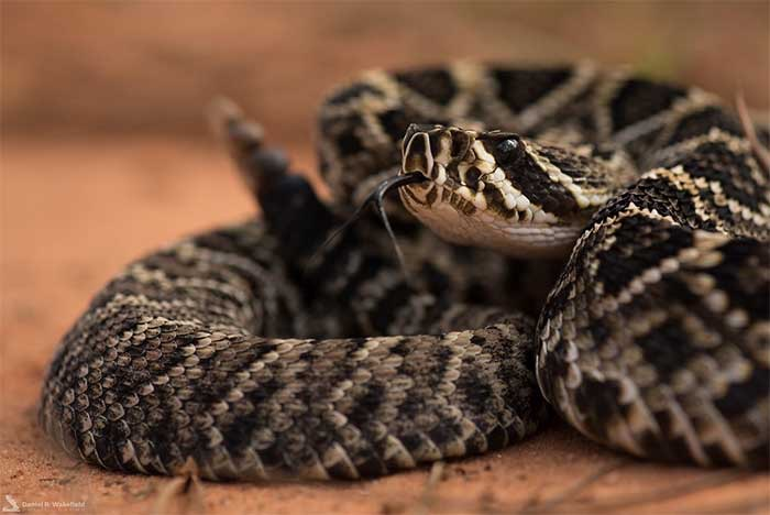 Eastern Diamondback Rattlesnake | Pro Wildlife Removal