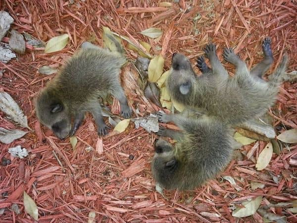 Health risks raccoons carry | Pro Wildlife Removal