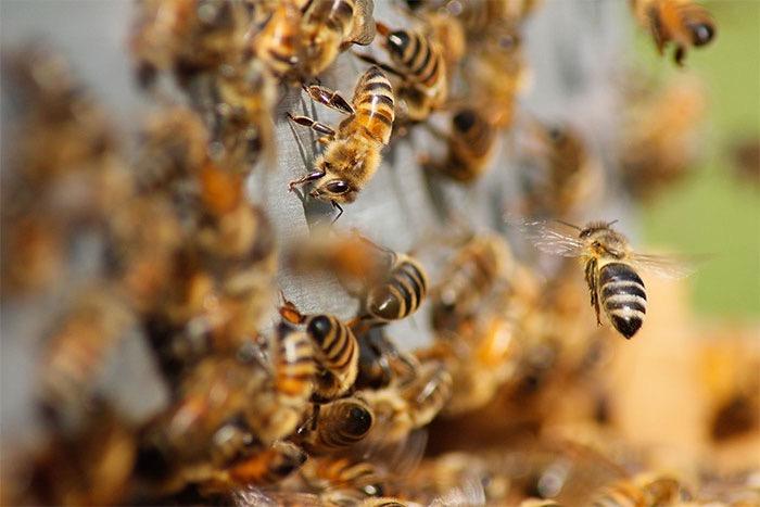 Honey Bee | Pro Wildlife Removal
