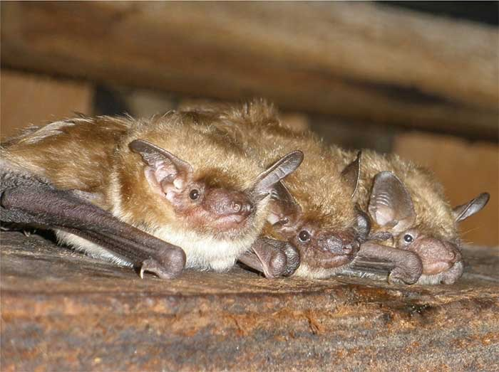 Our Bat Removal Tampa Pros Are Certified Animal Trappers For Any Kind of Ops! | Pro Wildlife Removal