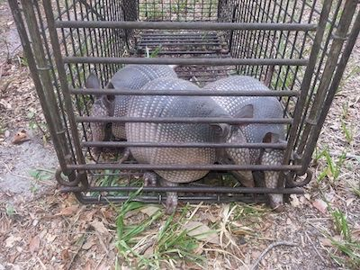 Pro Wildlife Removal is Your Industry Leader in Armadillo Removal Tampa | Pro Wildlife Removal