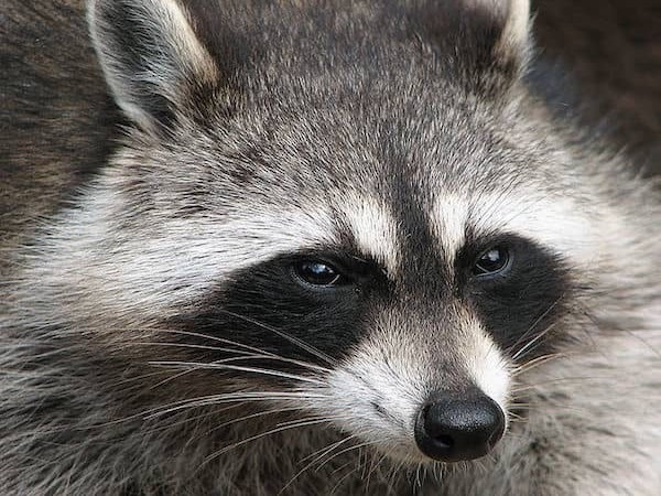 Raccoon Removal | Pro Wildlife Removal