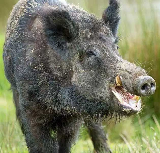 Tampans Call Pro Wildlife Removal For Any Tampa Hog Removal Emergency! | Pro Wildlife Removal