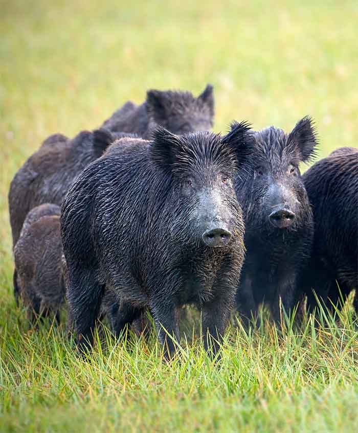 Why You Need To Call Expert Trappers When Hogs Are Out Of Control | Pro Wildlife Removal