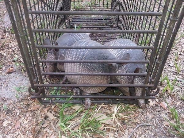 Odessa Armadillo Handlers | Pro Wildlife Removal