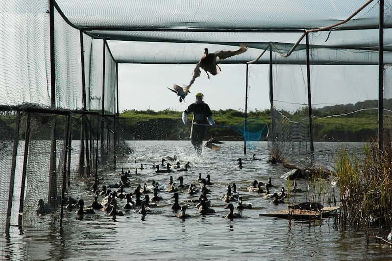 Odessa Duck Handlers | Pro Wildlife Removal