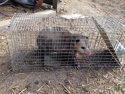 Odessa Opossum Handlers | Pro Wildife Removal