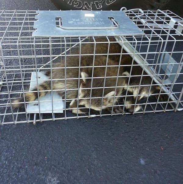 Odessa Raccoon Handlers | Pro Wildlife Removal