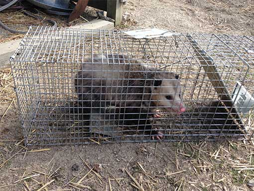Opossum Trappers | Pro Wildlife Removal