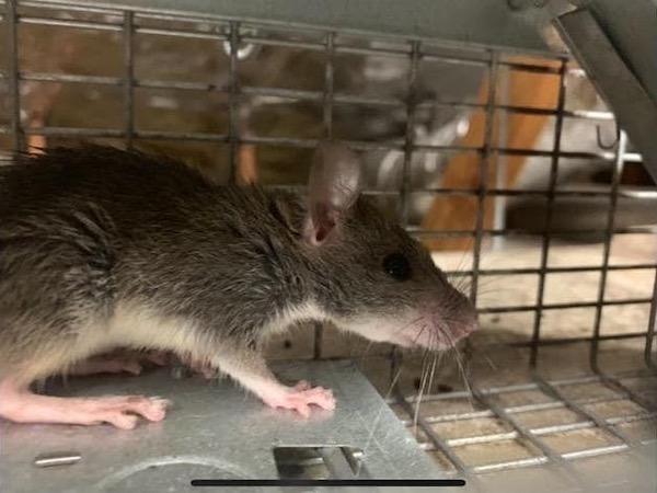 Rat Control | Pro Wildlife Removal