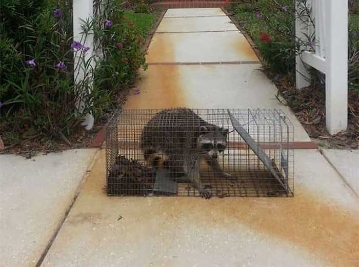 Safety Harbor Raccoon Trapping | Pro Wildlife Removal
