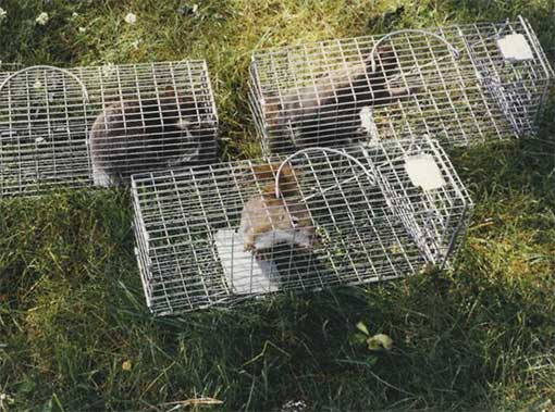 Squirrel Trappers | Pro Wildlife Removal