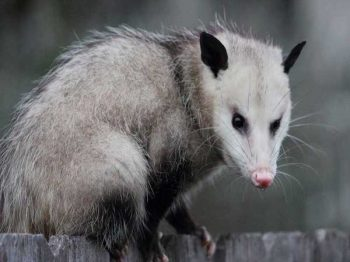 Opossum Removal | Pro Wildlife Removal