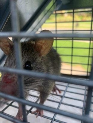 Tampa, the city of rats? Why Rat removal tampa is needed now more than ever | Pro Wildlife Removal