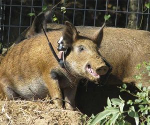Trinity Hog Handling | Pro Wildlife Removal