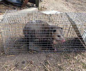 Trinity Opossum Handling | Pro Wildlife Removal