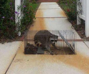 Trinity Raccoon Handling | Pro Wildlife Removal