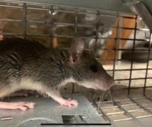 Trinity Rat Handling | Pro Wildlife Removal
